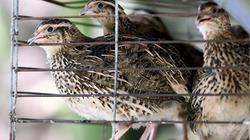 Trại chim cút 300m2 mỗi ngày bỏ túi 1 triệu đồng
