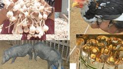 Bảo tồn gen quí lợn kiềng sắt, gà re, quế Trà Bồng và tỏi Lý Sơn