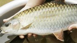 Kỳ lạ loài cá sống 50 năm trên sông Chảy ở Tây Bắc