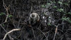Một ngày mưu sinh của người nông dân nghèo trong rừng ngập mặn