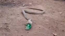 Video Clip: Hổ mang quằn quại nôn ra chai nhựa ở Ấn Độ