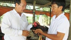 Kinh nghiệm nuôi gà nòi Nam bộ mỗi lứa thu lãi 60 triệu đồng