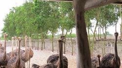 Trang trại đà điểu vùng gió Lào cát trắng thu 2 tỉ mỗi năm