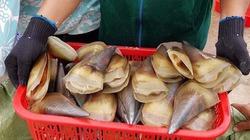 Sò mai giúp ngư dân Hà Tĩnh kiếm chục triệu mỗi ngày