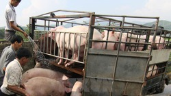 Cơ hội xuất khẩu 1 triệu tấn thịt lợn nhưng giá thấp, yêu cầu khắt khe