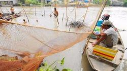 Cách bắt cá bằng chà độc đáo ở miền Tây