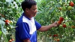 Trang trại cà chua Nhật, mỗi tháng bỏ túi gần 100 triệu đồng