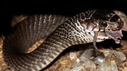 Kỹ thuật nuôi rắn hổ mang cho lợi nhuận cao