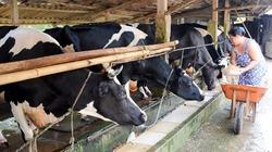 Doanh nghiệp hỗ trợ giống, lo đầu ra, người nuôi bò khấm khá