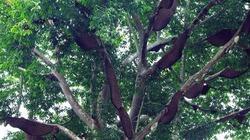 """Chuyện cây """"thần"""" hiếm gặp và luật tục của người Thái ở Điện Biên"""