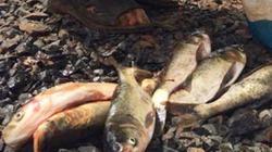 Cá chết hàng loạt bất thường gần khu tiểu thủ công nghiệp