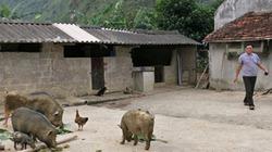 Kinh nghiệm nuôi lợn rừng kiếm trăm triệu khi giá lợn giảm sốc