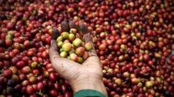 Giá cả thị trường hôm nay (09.6): Giá cà phê tiếp đà giảm, hồ tiêu đi ngang