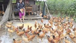 Mẹo chăn nuôi gà thả vườn nhanh lớn, thịt thơm, mắn đẻ