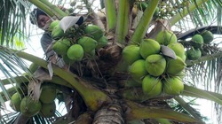 Cây dừa sinh sôi trên vùng đất trũng Đồng Cau