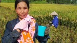 Nắng nóng khủng trên 41 độ: Nông dân tắm mồ hôi ra đồng gặt lúa