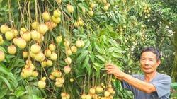 Khó tin: Cây vải cổ thụ cho 100 kg quả/năm, 40 cây vải u trứng mỗi vụ thu 100 triệu đồng
