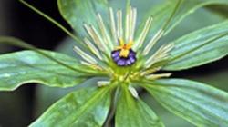 Tận diệt cây 7 lá 1 hoa vì tin đồn chữa được ung thư, giá 2 triệu đồng/kg củ