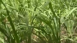 Cảnh báo cây lạ, không giống lúa, không giống cỏ