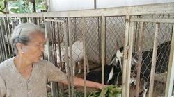 Chuyện về những cụ già nuôi dê thu tiền tỉ ở xóm nghèo xứ Nghệ