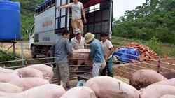Sau bão, giá lợn hơi và thịt lợn tại Nghệ An tăng đột biến