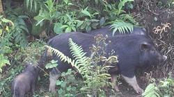 Cách nuôi heo đi hoang sáng vào rừng kiếm ăn, tối về ngủ sân nhà