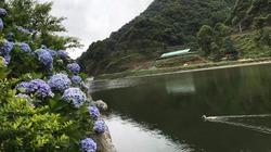 """""""Đứng ngồi không yên"""" bởi vườn hoa cẩm tú cầu đẹp mê ly ở Cao Bằng"""