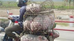 Giá lợn hôm nay (26.7): Nhích dần lên mức 40.000 đồng/kg, treo chuồng hay vay vốn tái đàn?