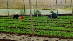 Doanh nghiệp bỏ hơn 10 tỉ đồng trồng rau sạch ở Quảng Ngãi