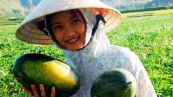 Vào mùa thu hoạch dưa đỏ Nam Đàn giá cao gấp đôi năm ngoái
