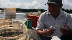 Trúng đậm vụ tôm, nông dân Nghệ An thu lãi tiền tỉ