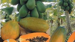 Kỹ thuật trồng đu đủ thân lùn mắn quả