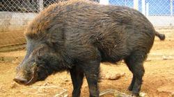 Người nuôi lợn rừng cẩn trọng với những bệnh thường gặp