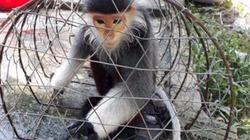 Thả Voọc chà vá chân nâu lạc vào nhà dân ra Vườn quốc gia Cúc Phương