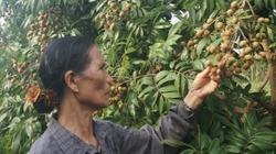 Nông dân Hà Nội mất ngủ vì nhãn chín muộn mất mùa chưa từng thấy