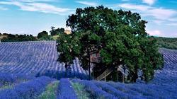 Vẻ đẹp ngôi nhà cây độc đáo giữa cánh đồng hoa oải hương