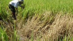 Cảnh báo dịch bệnh tuần này (từ 11 – 17/9): Sâu cuốn lá nhỏ và rầy lan rộng đe dọa các trà lúa