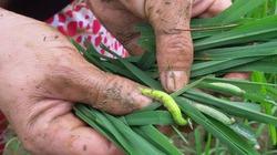 Cảnh báo dịch bệnh tuần này (từ 5 đến 11.9): Sâu cuốn lá nhỏ, rầy gây hại trên các trà lúa