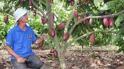 Được mùa ca cao ở Đồng Nai: Năng suất gấp rưỡi, lợi nhuận 200 triệu đồng/ha