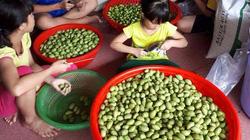 Trái cà na đắt khách, trồng cây dại mà hái ra tiền