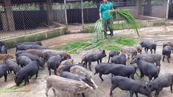 Choáng với trang trại lợn rừng thu 2 tỉ đồng/năm trên đỉnh Mu Muộn