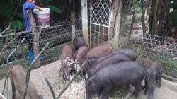 Nuôi lợn rừng, hươu, ngựa bạch bằng cây chuối, cỏ voi, mỗi năm thu trên 1 tỉ đồng