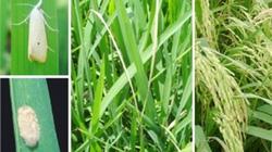 Cảnh báo dịch bệnh tuần này (từ 25/9 đến 01/10): Rầy mật độ tăng, sâu đục thân hại trà lúa muộn