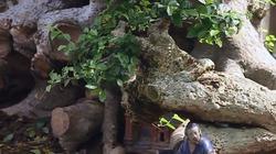 Tận mắt ngắm cây duối cổ Lão Mai Đại Thọ quý hiếm 1.000 năm tuổi
