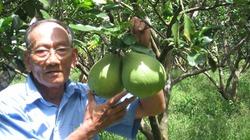 Cả gan đưa giống bưởi Năm Roi xuống vùng đất phèn, lão nông thu trái ngọt