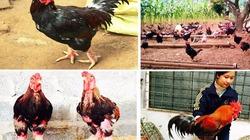 Những giống gà cổ giúp cả làng xây nhà lầu, đua nhau sắm xe hơi
