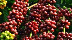 Cà phê tìm động lực, hồ tiêu bàn chuyện ngưng trồng ngăn rớt giá