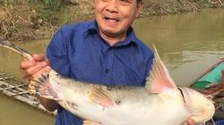 """""""Quái ngư"""" cá chiên quý hiếm được nuôi trong lồng trên sông Lô"""