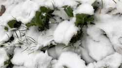 Diệu kỳ hoa tuyết trắng trong vườn cải xanh sau nhà của người mẹ Việt hai con ở Nhật