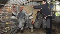 Kinh nghiệm chống rét cho trâu bò ở vùng cao